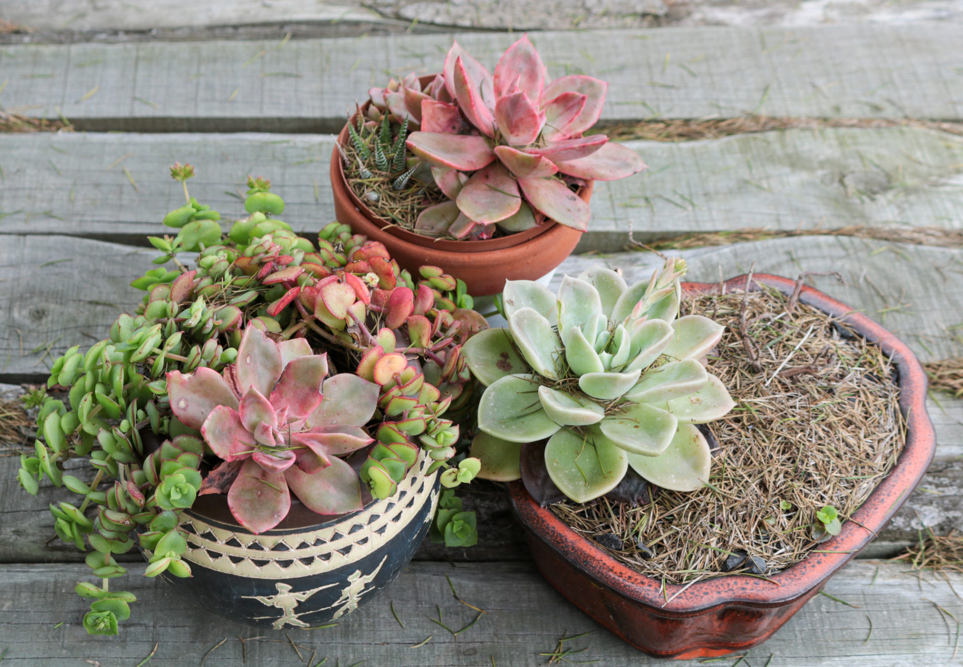 Beautiful succulents in our garden